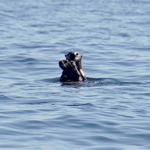 sea otter and pup in water