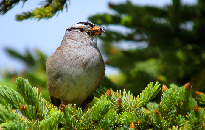 White-crowned Sparrow in a spruce tree with bill full of insects