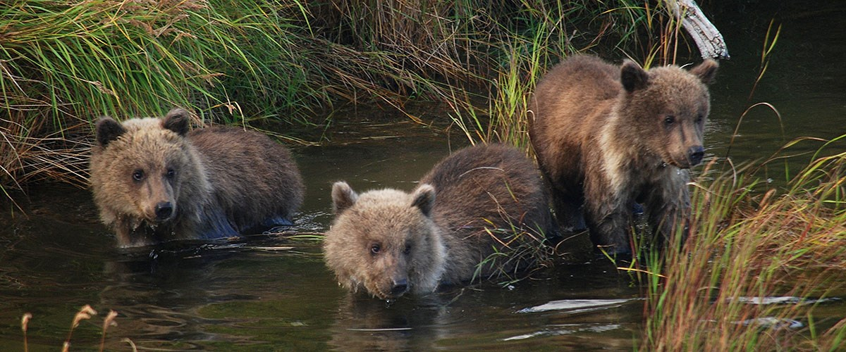 Three bear cubs standing in river.
