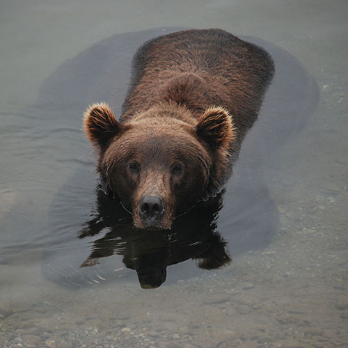 Brown bear submerged in water