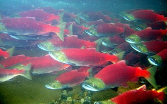 Underwater photo of sockeye (red) salmon