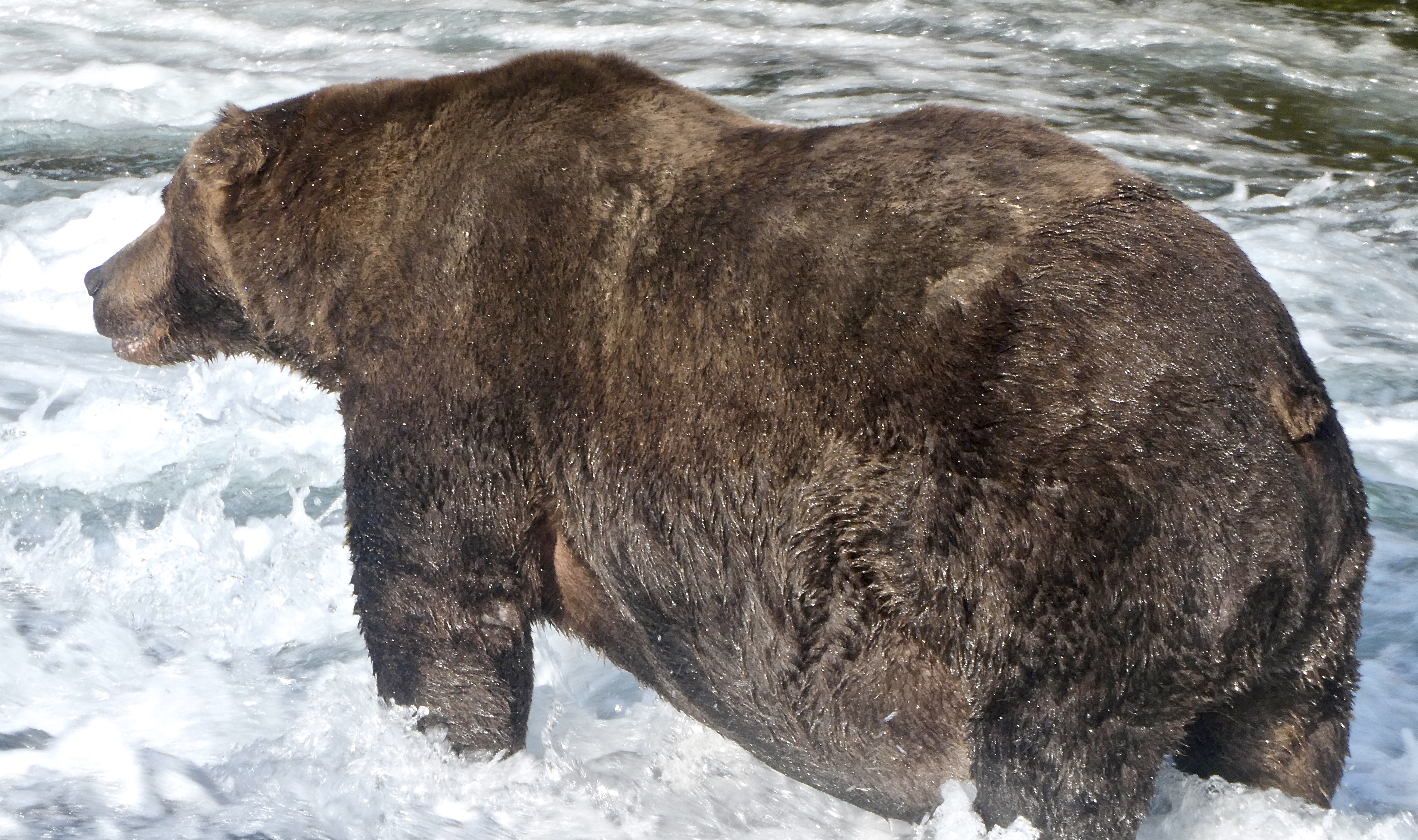 very large brown bear standing in water