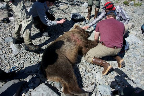 Bear 854, Divot, as biologists remove wolf snare from her neck