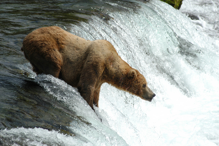 large male bear on falls
