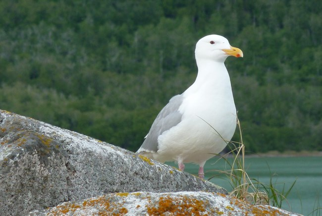 Glaucous-winged-gull-on-island