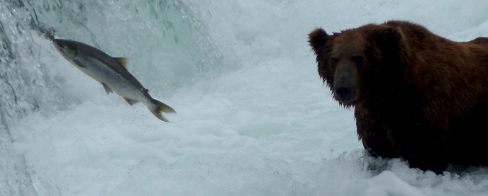 Sockeye Salmon Frequently Asked Questions - Katmai ...