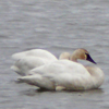 Link to Beluga and Waterfowl Cam