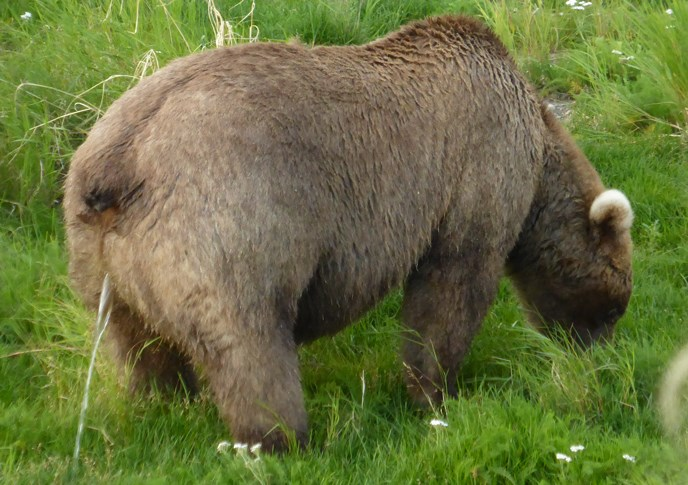 Adult female bear urinating