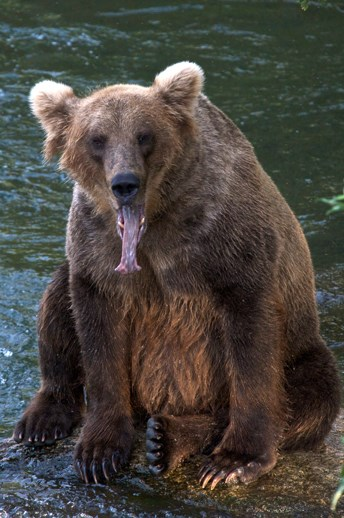 yawning bear sitting on rock in river