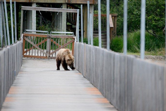 bear on wooden bridge