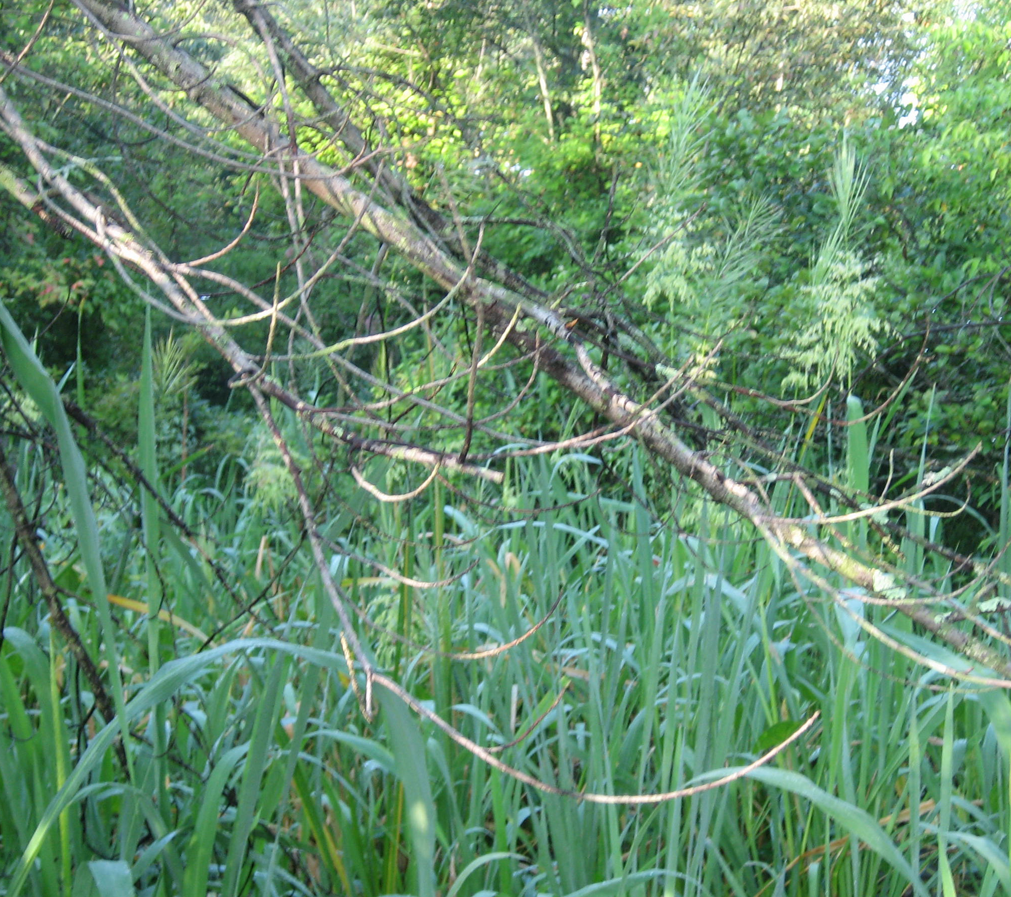Swamps often have treeless clearings like this with cattail and wild rice.
