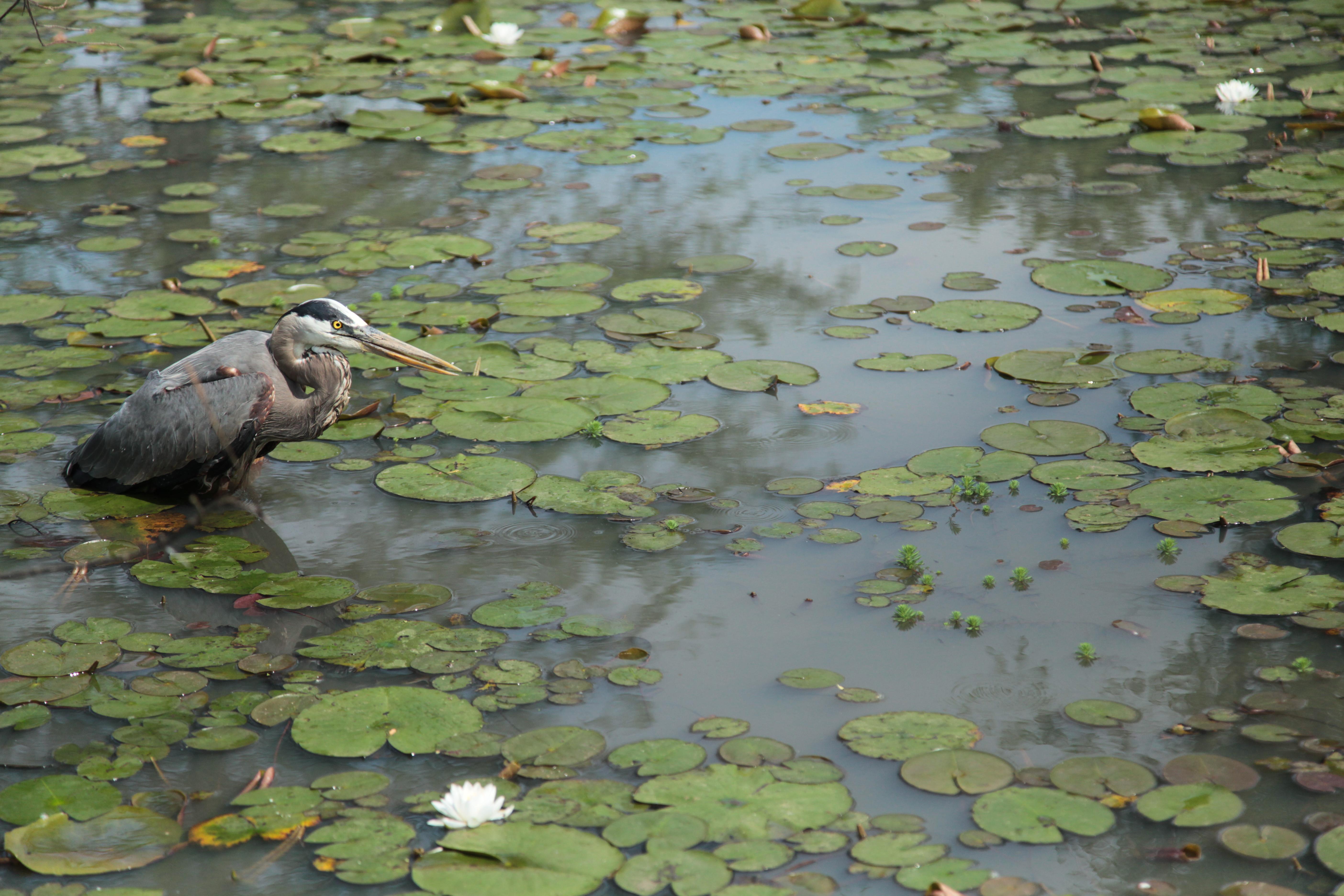 Birds Kenilworth Park Aquatic Gardens US National Park Service