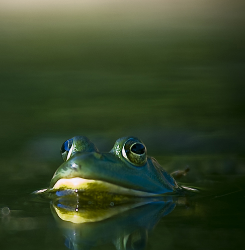 A cautious frog peeks out of the water
