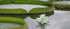 A cool white waterlily on a hot August day.