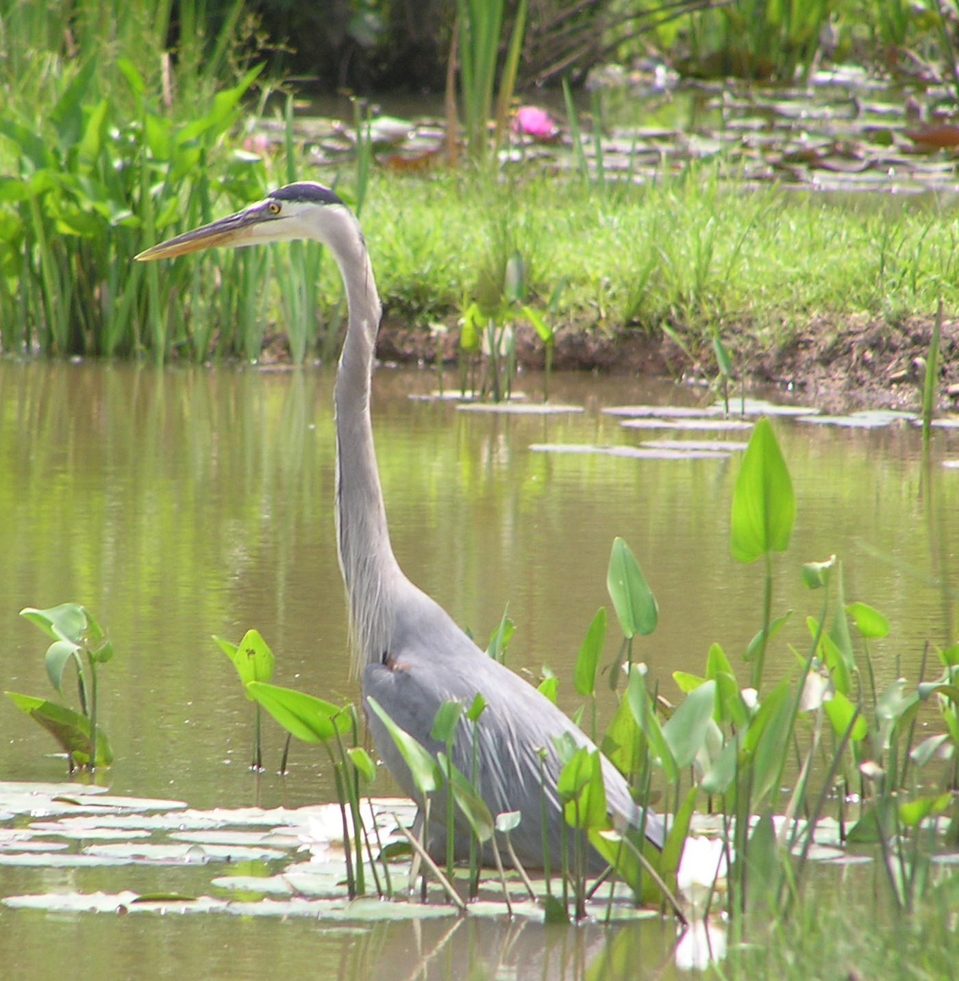 Great blue heron hunting in a pond