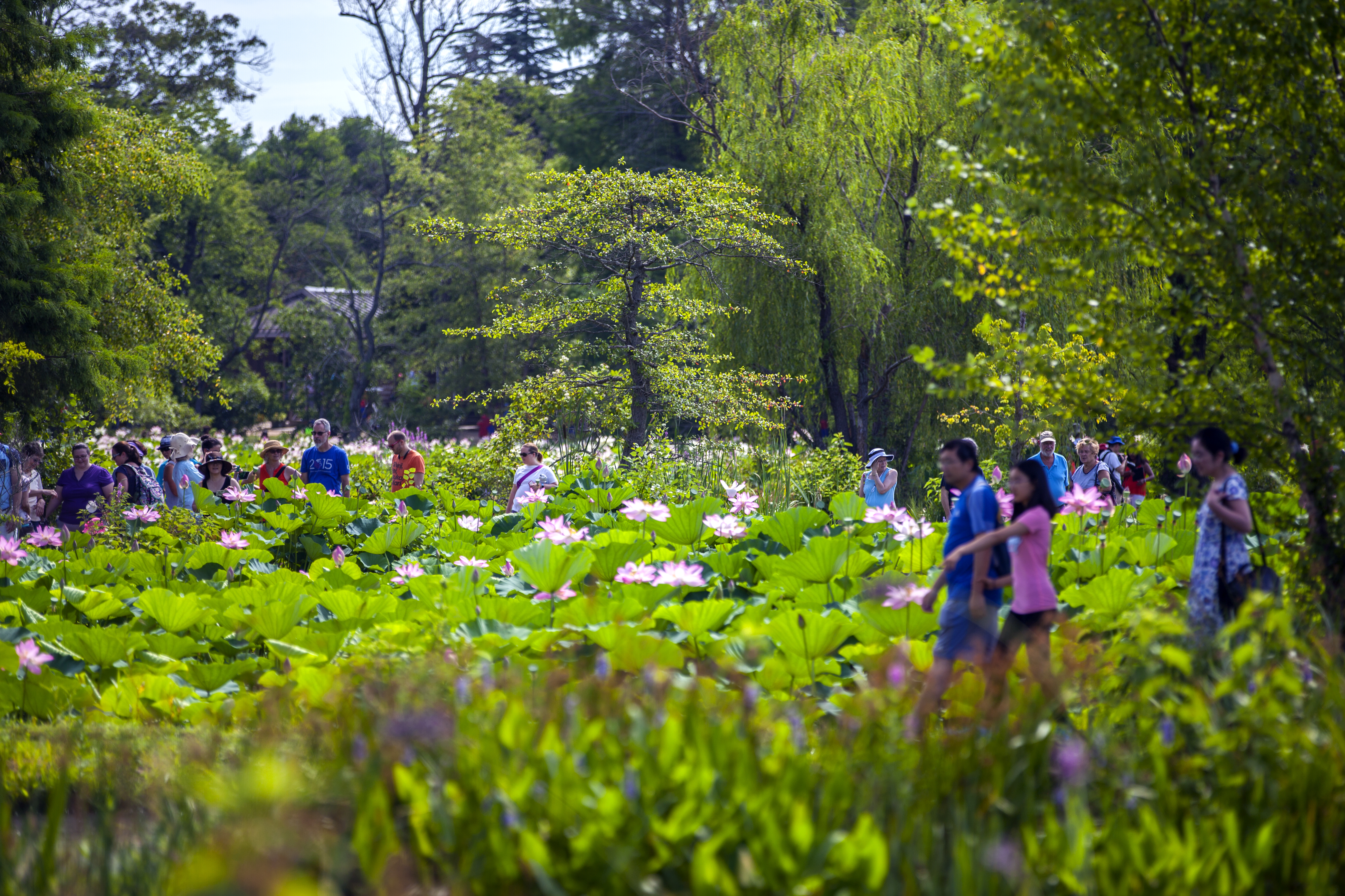 Plan Your Visit To The 2018 Lotus And Water Lily Festival