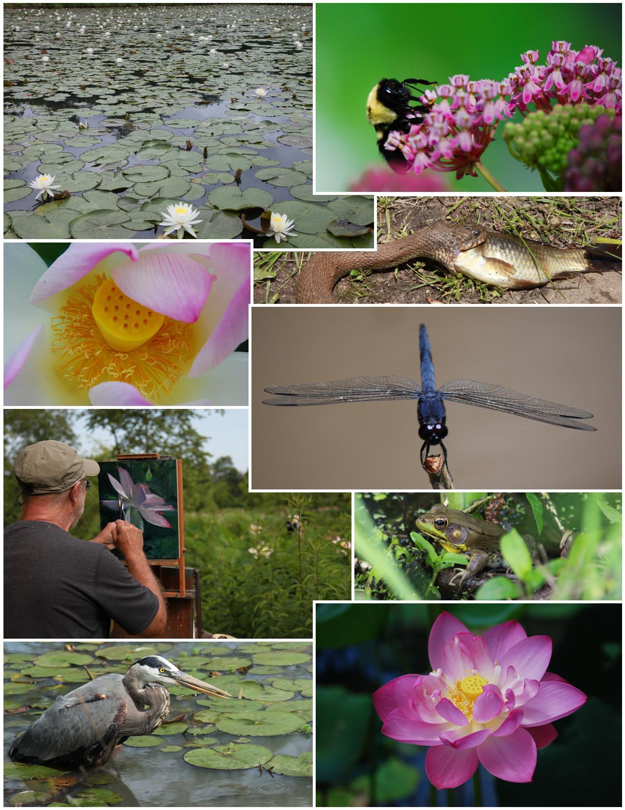 Photos Multimedia Kenilworth Park Aquatic Gardens U S National Park Service