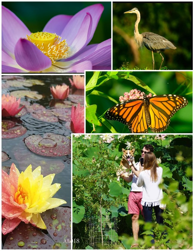 A collage of photos. A purple lotus, blue heron, red lilies, and a couple holding up a corgi.