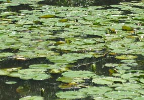 A typical hot afternoon view of waterlilies.