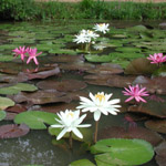 Hot, blazing bright flowers are characteristic of tropical waterlilies