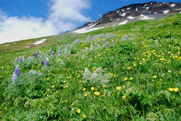 Wildflowers on Harding Icefield Trail