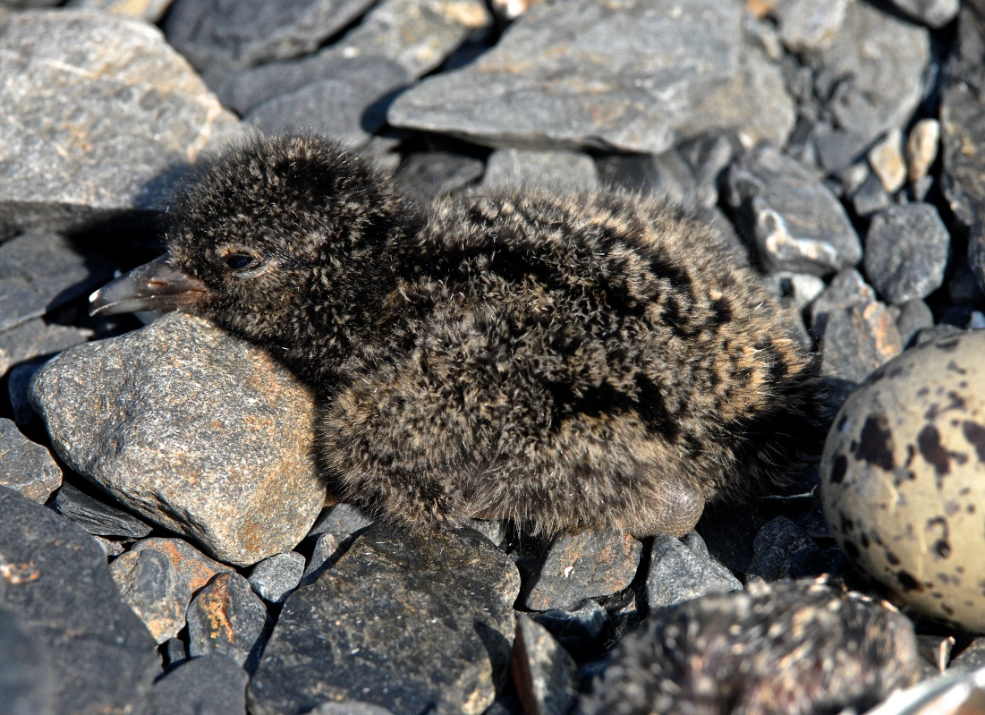 A freshly-hatched black oystercatcher chick lays on a rocky beach. The remains of the egg are behind it.