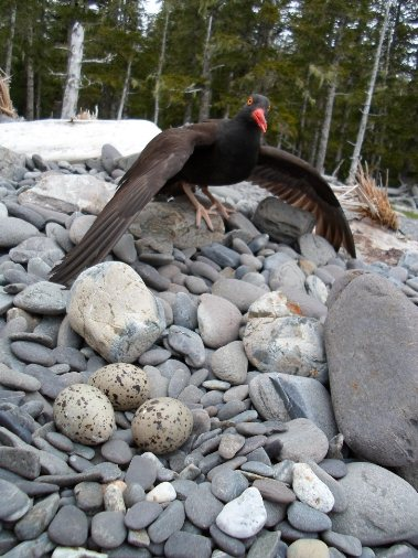 An adult black oystercatcher stands on a rocky beach, with 3 speckled-colored eggs in a nest below.