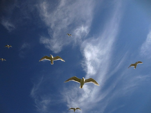 Hovering Glaucous-winged Gulls