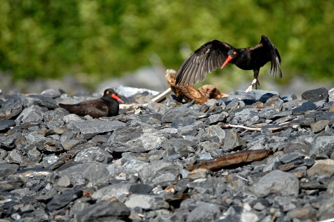 Two adult black oystercatchers on a rocky beach. One prepares to take off, with its wings out.