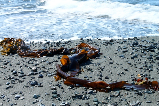 Bull kelp on beach.
