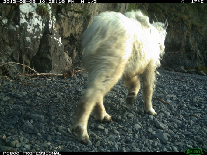 View of a the rear of a mountain goat as it walks on a rocky beach.