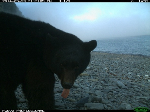 Profile of a black bear on a beach, and it's tongue out.