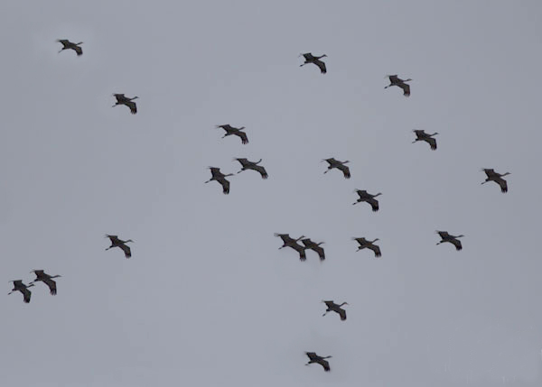 sandhill cranes flying by