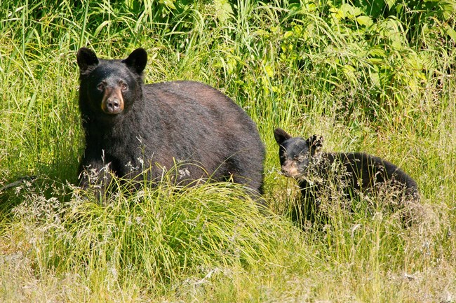 Black bear with cub in high grass.