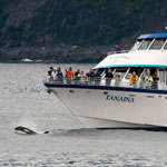 An Orca plays in the waves by on a tour boat in Kenai Fjords