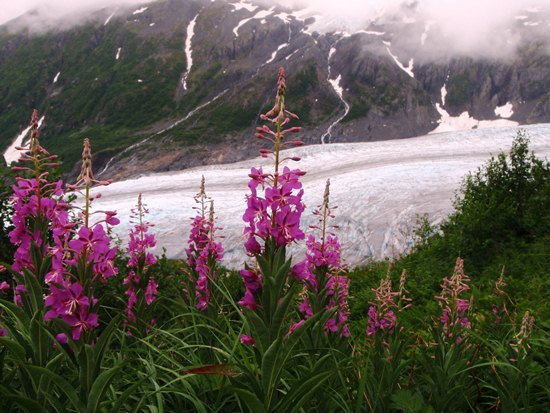 Common fireweed at Exit Glacier