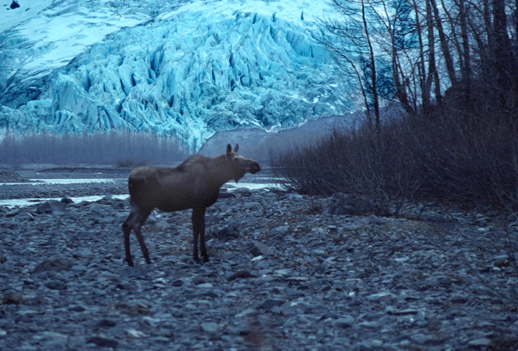Moose at Exit Glacier