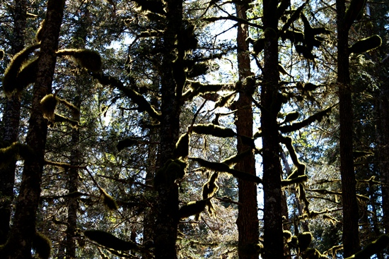 Mature Sitka spruce forest, the