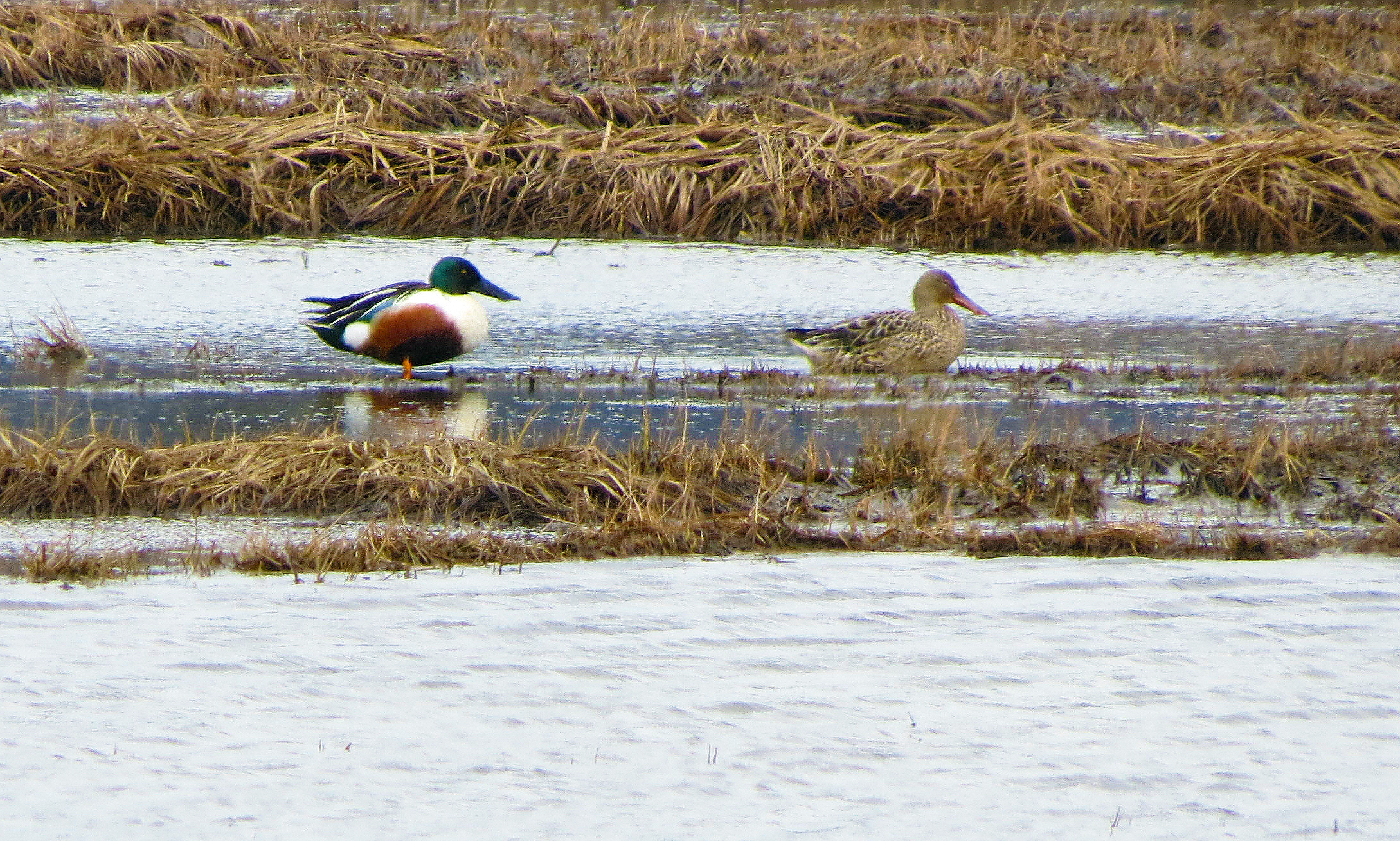 Northern Shovelers in the marsh