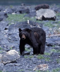 A black bear walks along the rocky beaches of the park.