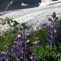Lupine in full bloom, along the Harding Icefield Trail.