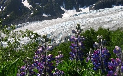 Purple flowers grow in the meadows beside Exit Glacier.