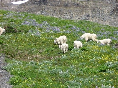 Mountain goats feeding on alpine vegetation.