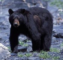 A black bear looks forward, as it walks on rocky beach.