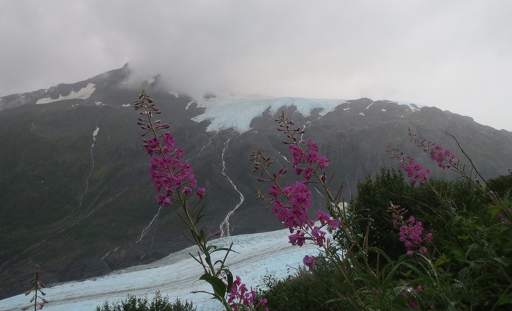 Dwarf Fireweed in front of Exit Glacier.