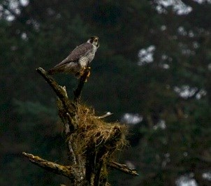 A peregrine falcon holds on to the top branch of a dead tree.