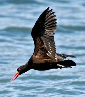 A black oystercatcher dives for prey. Its bird band is visible on its leg.