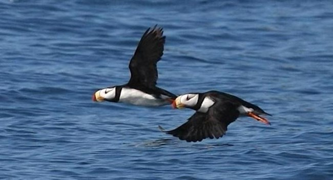 Two horned puffins fly together over the water.