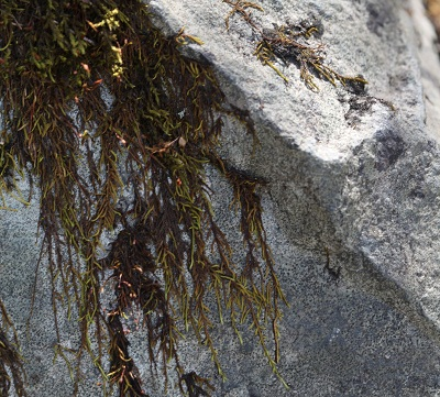 Moss beginning to break down a rock.