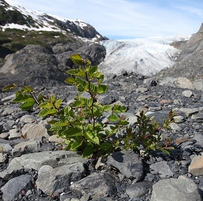 Alder (left) and willow (right) growing in the wake of the retreating glacier